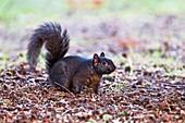 Black squirrel on the ground