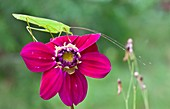 Katydid on a flower