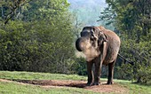 Asian elephant at a mineral lick