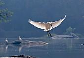 Eurasian spoonbill landing