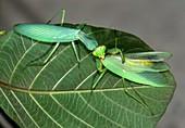 Asian mantis eating her mate