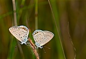 Grass jewel butterflies