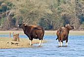 Gaur at a river,India