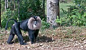 Lion-tailed macaque alpha male
