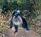 Lion-tailed macaque threatening