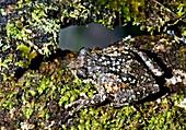 Nilgiri bush frog,India