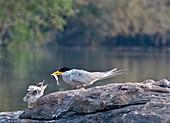 Indian river tern feeding chick