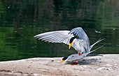 Indian river terns mating