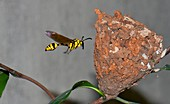 Potter wasp with nest