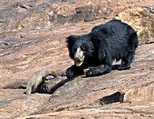 Sloth bear and mongoose
