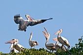 Spot-billed pelican in flight