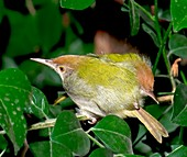 Common tailorbirds roosting