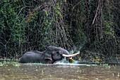 Asian elephant feeding in a river