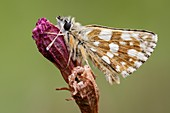 Hungarian Skipper Butterfly