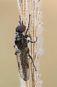 Fever Fly