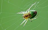 Green Orb Weaver Spider