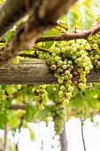 White wine grapes, Amalfi coast, Italy
