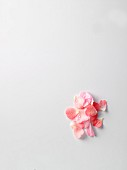 Rosenblütenblätter mit Tautropfen