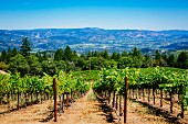 A view of a summer vineyard, Napa Valley, California, USA