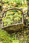 Freshly harvested grapes in a wooden basket