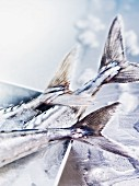 Fresh mackerel on ice (detail)