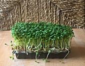 Garden cress in a plastic punnet