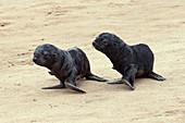 Cape fur seal pups