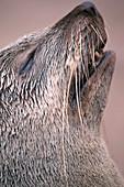 Cape fur seal's head