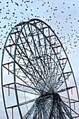 Starling flock on Blackpool Ferris wheel