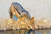 Black-backed jackal drinking water