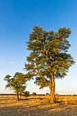 Camel thorn trees,South Africa