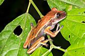 Brown eyed treefrog
