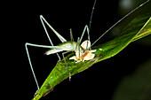 Bush cricket eating a fallen flower