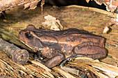 Ecuadorian Toad