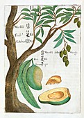 Mango tree and fruit,17th century