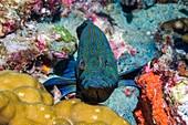 Blue line grouper