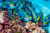 Singapore parrotfish