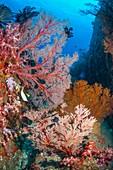 Melithaea sea fans