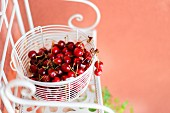 Freshly picked cherries in a white wire basket on a metal chair