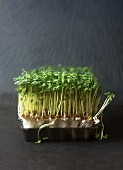 A punnet of garden cress