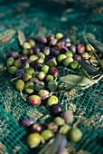 Olives in a harvesting net