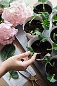 Vermehrung von Hortensien mit Stecklingen in Anzuchttöpfen