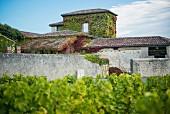 Chateau Lafaurey Peyrageuy vineyard
