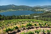 Rebberg des Weingutes Vina Costeiras hoch über dem gestauten Minõ