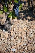 Cabernet-Sauvignon-Rebstock auf Kieselboden im Medoc