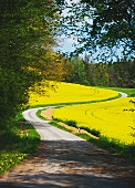 A road through a rape field, Upper Palatinate, Germany