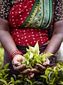 Woman holding fresh tea leaves (Sri Lanka)