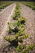 Uralte Weinstöcke in steinigem Weinfeld (Javier Sanz, Rueda, Spanien)