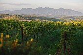 The Charello vineyard at the Recaredo winery with the Montserrat mountain range in the background (El Penedes, Spain)