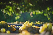 Charello grapes at the Gramona winery (in El Penedes, Spain)